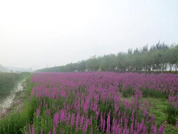 天津北辰郊野公园种植黄菖蒲 荷花苗