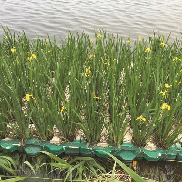 浮岛种植黄菖蒲