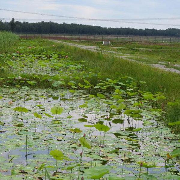 水生植物种植基地
