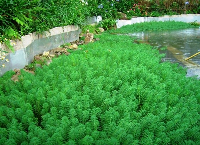 粉绿狐尾草