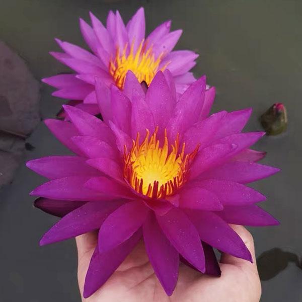 水生植物花卉