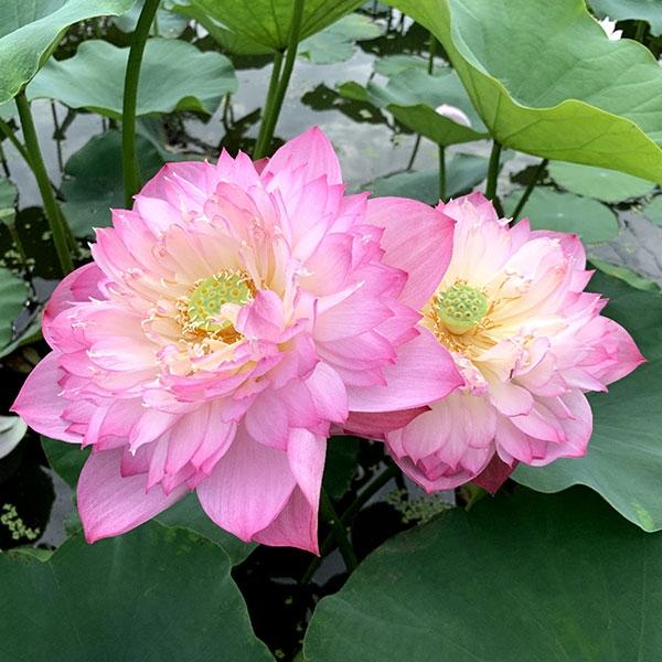 保定水生植物