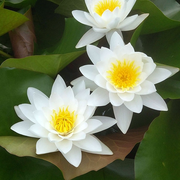 定州水生植物