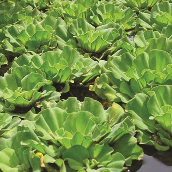 白洋淀水生植物